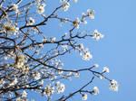 spring is white by ediizombie