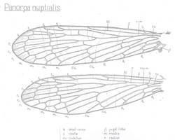 Panorpa nuptialis, wing by skivwidget