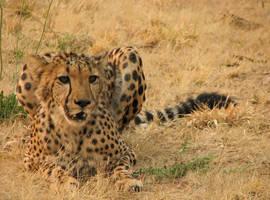 Vigilant cheetah by bestgamer