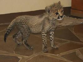 Curious cheetah cub by bestgamer