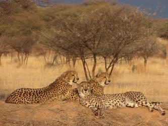 Triple Cheetah Portrait by bestgamer