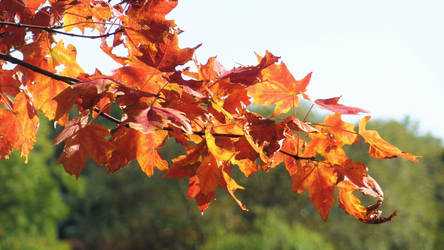The Missed Maple Fires of Fall by Canthgyl