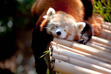 Red Panda V by deseonocturno