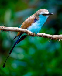 Racket-Tailed Roller ll by deseonocturno