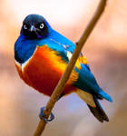 Superb Starling ll by deseonocturno