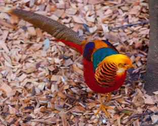 Golden Pheasant by deseonocturno