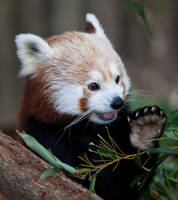 Red Panda IV by deseonocturno