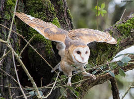Barn Owl by deseonocturno