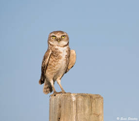 Burrowing Owl by deseonocturno