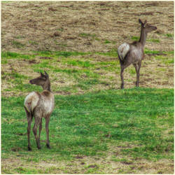 Two Young Elk by Leannnorrisbond