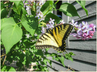 Tiger Swallowtail by Leannnorrisbond