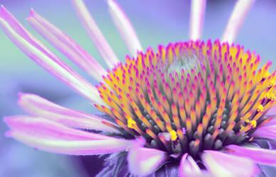 echinacea by sumahli