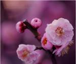 plum blossom by jyoujo