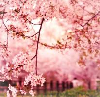 sweet piece of youth - sakura by jyoujo