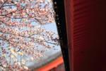sakura sail through by jyoujo