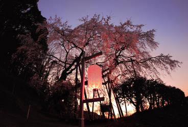 Sakura's healing of my heart by jyoujo