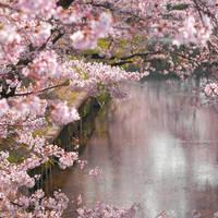sakura river spring by jyoujo