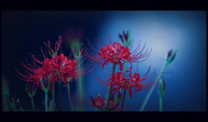 spider lilly by jyoujo