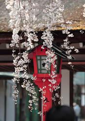 hirano's shrine sakura by jyoujo