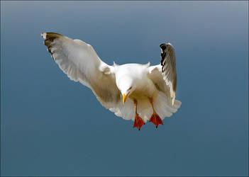 Herring gull by RichBrew