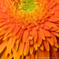 Orange gerbera by FrancescaDelfino
