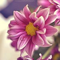 Softness drop by FrancescaDelfino