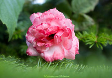 40. Pink rose in a green world by FrancescaDelfino