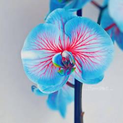 Orchid by FrancescaDelfino