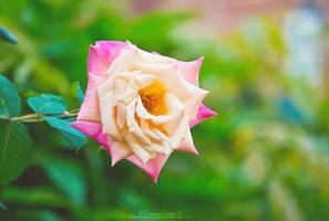 Bellissima rosa by FrancescaDelfino