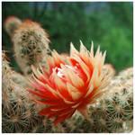Cactus flower by Valentina-Remenar