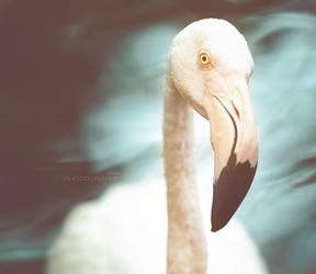 flamingo by HMsa