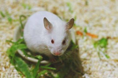 White Hamster After Eating by lalisa-doniho