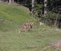 Fox by ZarthialDragon
