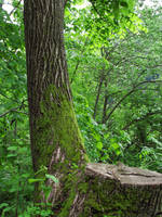 Mossy tree by Darknight-Stock