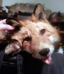 Super-Cute Male Alaskan Fox Soft Mount SOLD! by Anacita