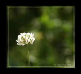 Trifolium hybridum by tania