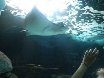 Spotted Eagle Ray, Virginia Aquarium by Animalluver1985