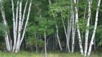 Birches of Potawatomi by ScottDouglass