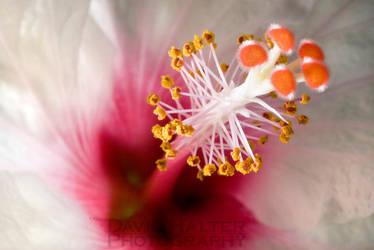 Hibiscus White by Nestor2k