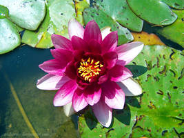 pink water lily by Ceridwenn