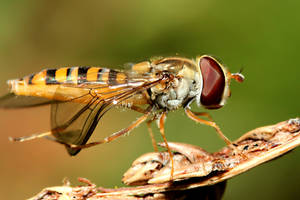 Hoverfly 02 by s-kmp