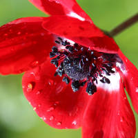 Red anemone 02 by s-kmp