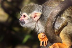 Common Squirrel Monkey 01 by s-kmp