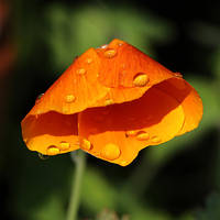 Poppy after the rain 02 by s-kmp