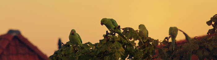Rose-ringed parakeet by monsterlienchen