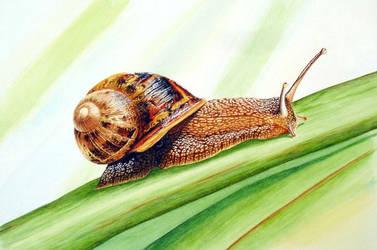 Snail by albertoguerra