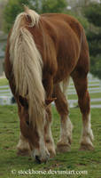 Belgian 1 by stockhorse