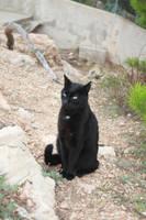black cat stock by AnsheraZ-Stock