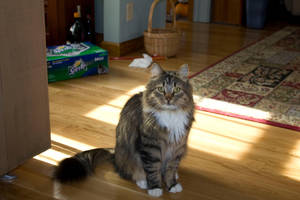 Maine Coon 1 by katie-stock