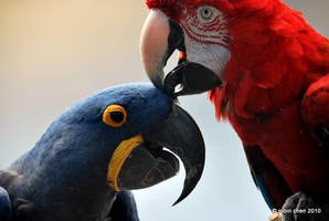 Interracial Macaw Love by meihua